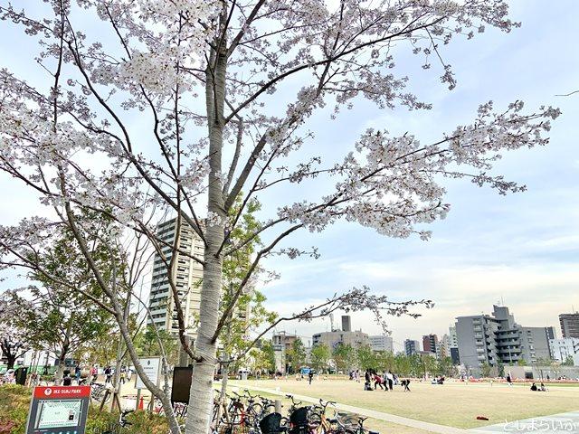 イケサンパーク 桜 お花見