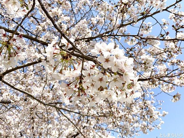 南池袋公園 咲き誇る桜