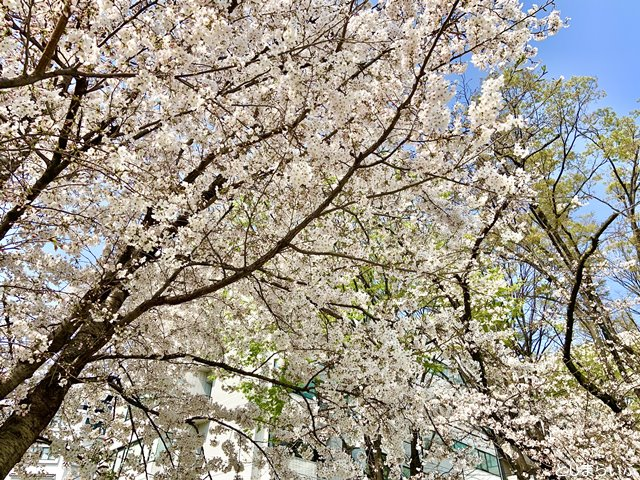 南池袋公園 春の桜